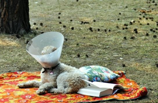 cockerpoo-camping.jpg